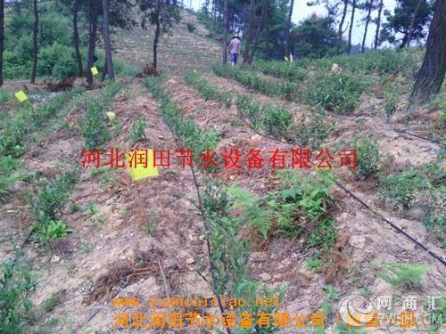 枣树种植在山区丘陵地带