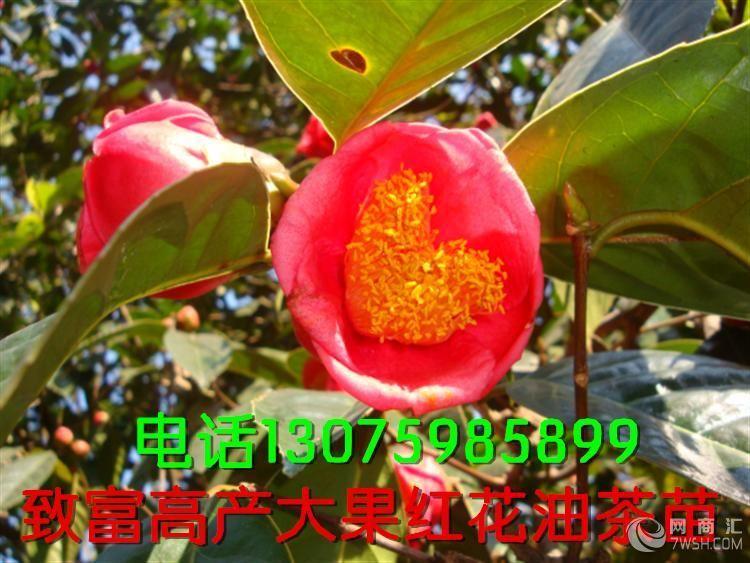 【江西大红花油茶苗-价格-超低农户直销供应