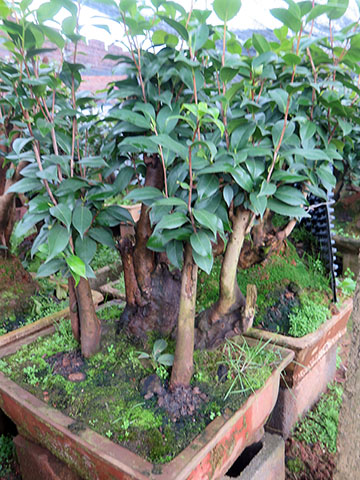 茶花树盆景 油茶树嫁接茶花全国承接